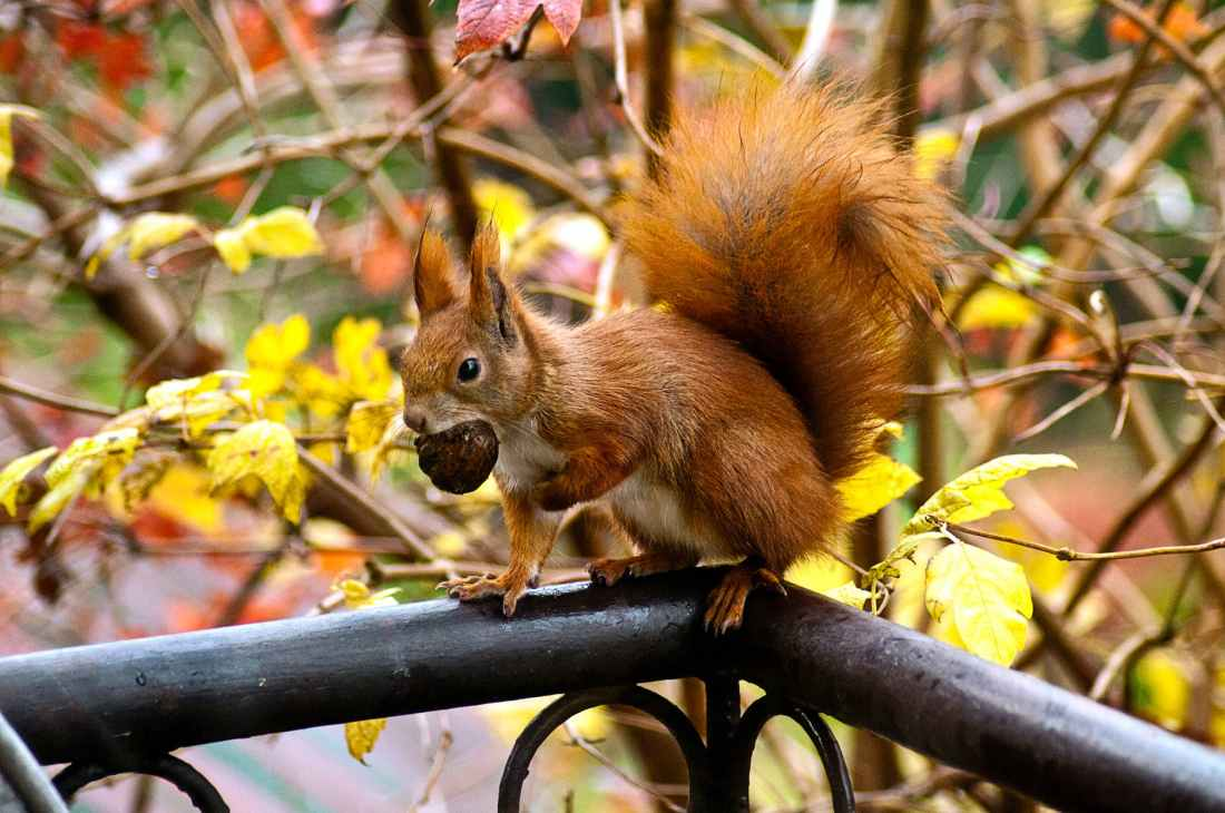 ginger squirrel